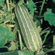 Marrow F1 Zebra Cross - 8 Seeds
